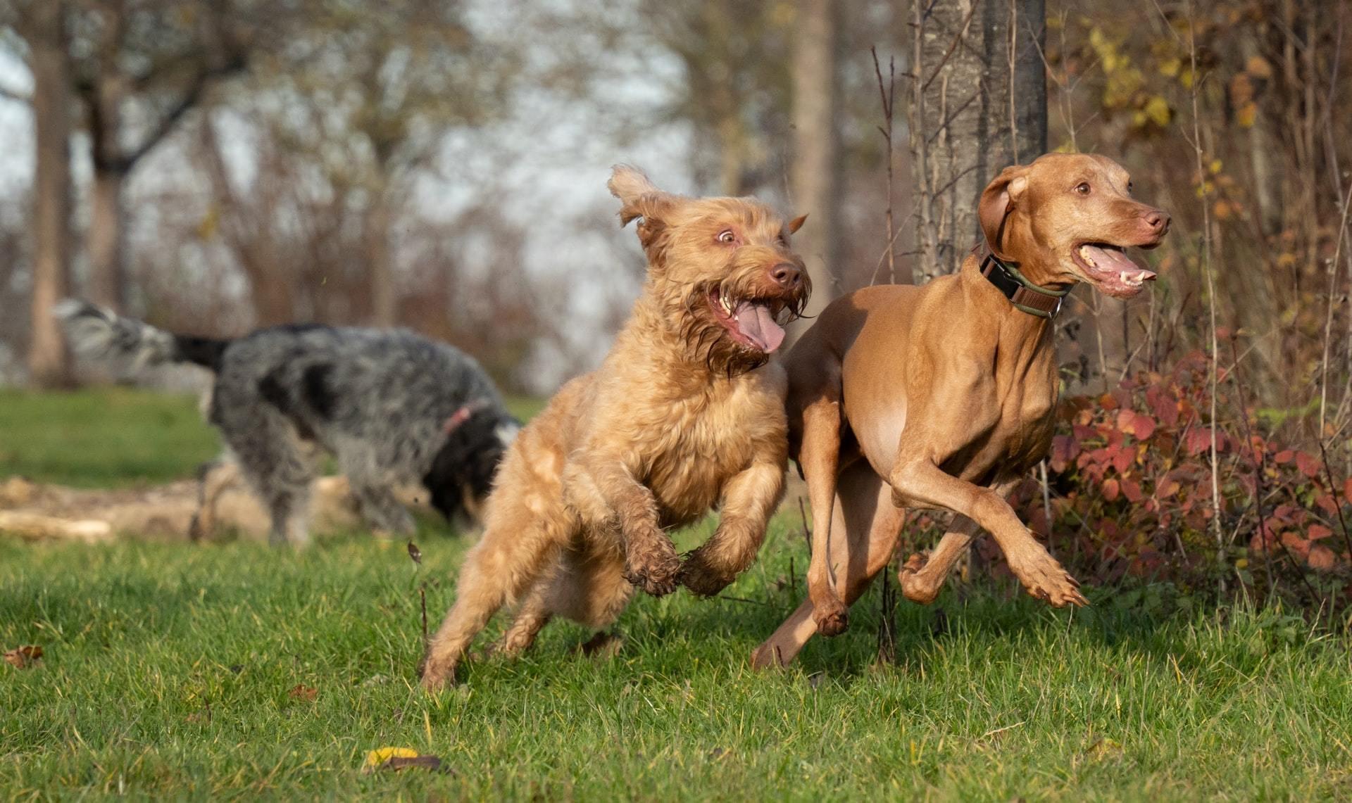 CIRDC cough in dogs