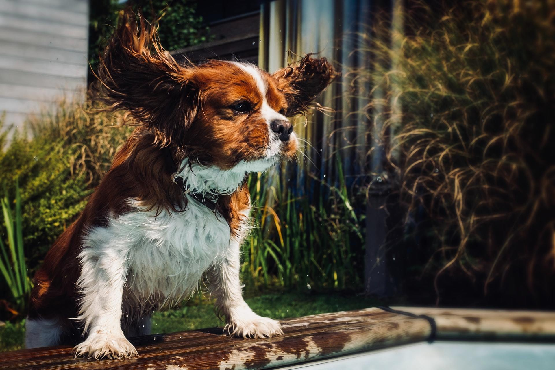 Dog hearing and ear facts