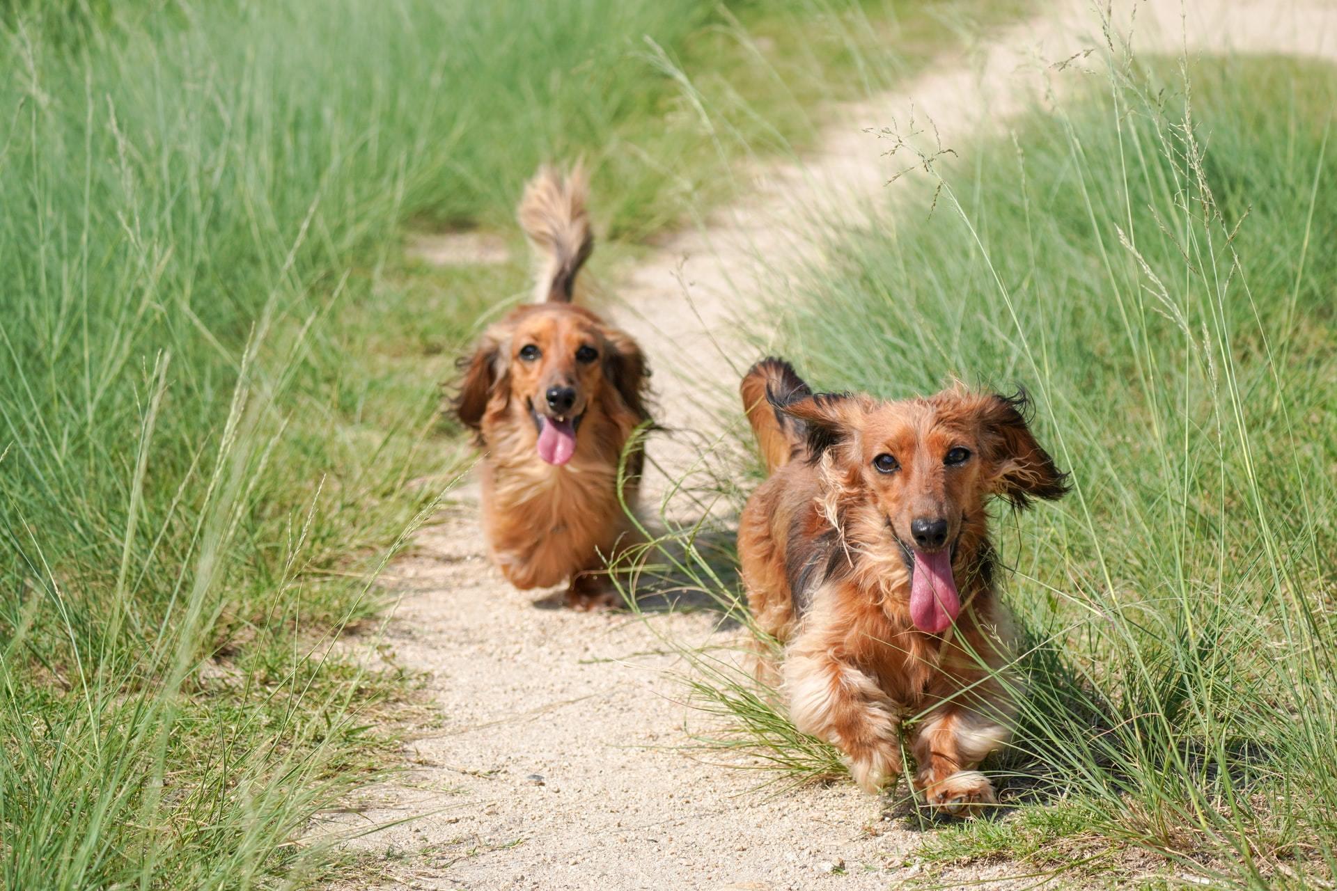 walk dachshund