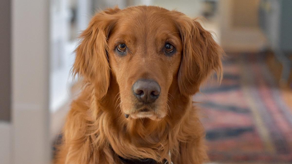 Hypotyreos hos hund