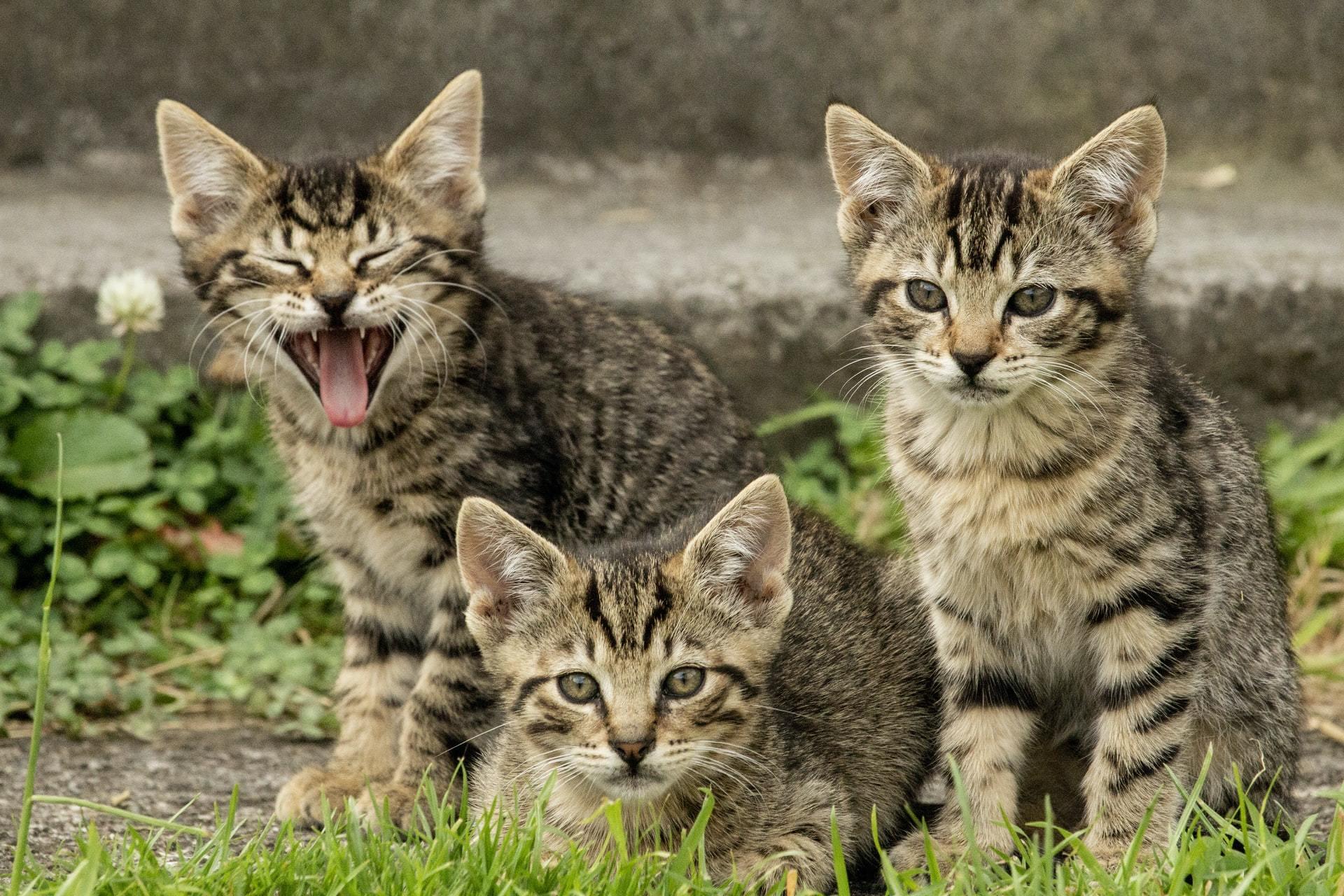 Kitten Viral Infections