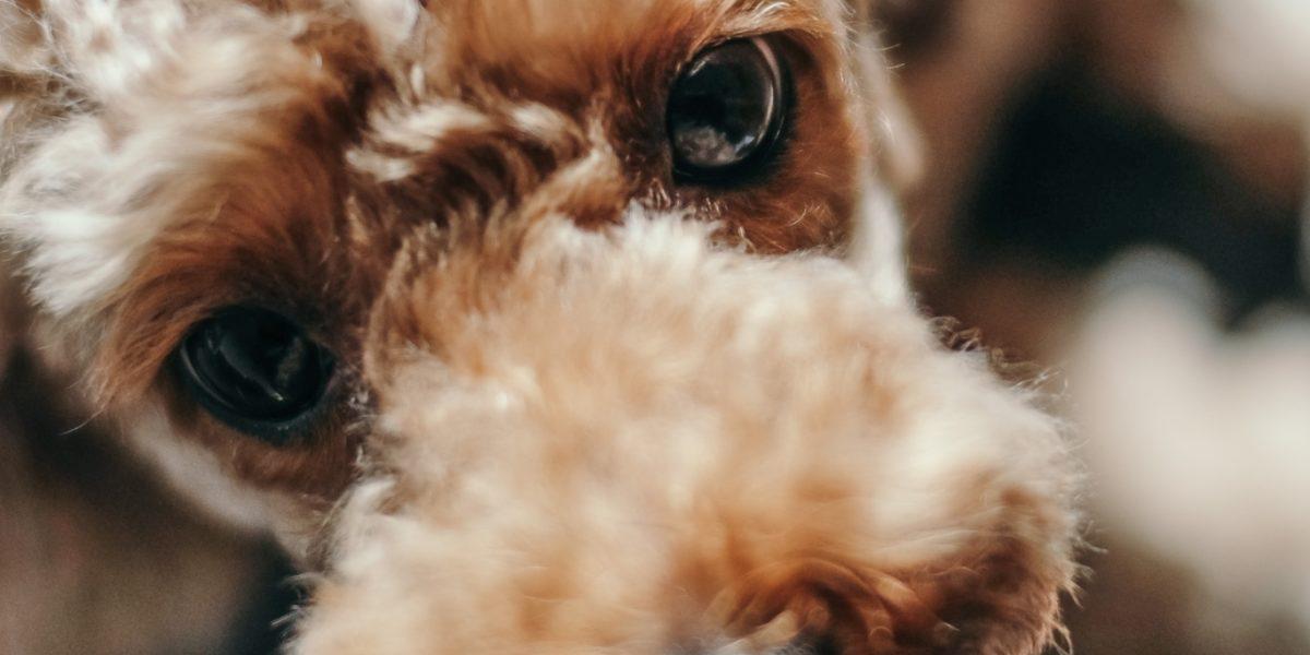Koiran Silmät