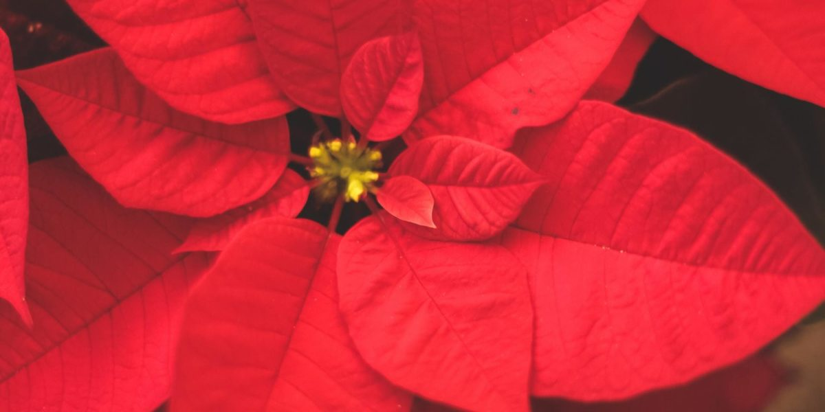 Poinsettia Toxicity In Dogs And Cats Firstvet
