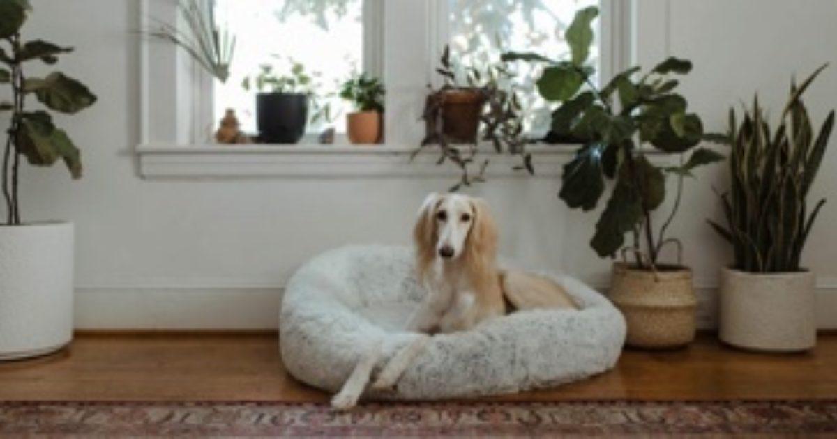 akut prostatitis hund