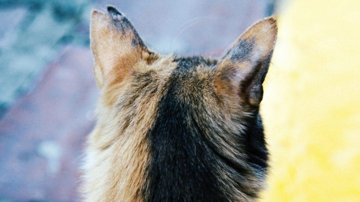 svamp i örat katt