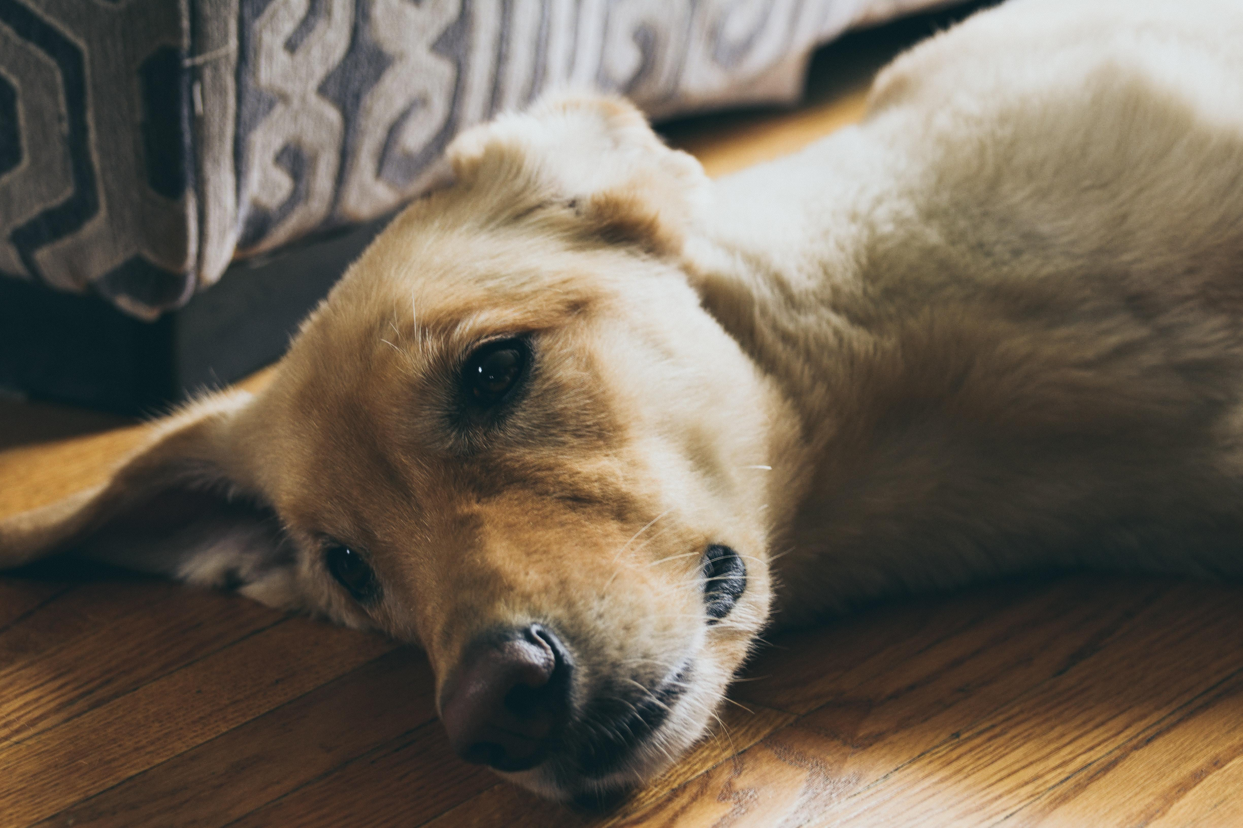 Dog laying on the floor looking sad