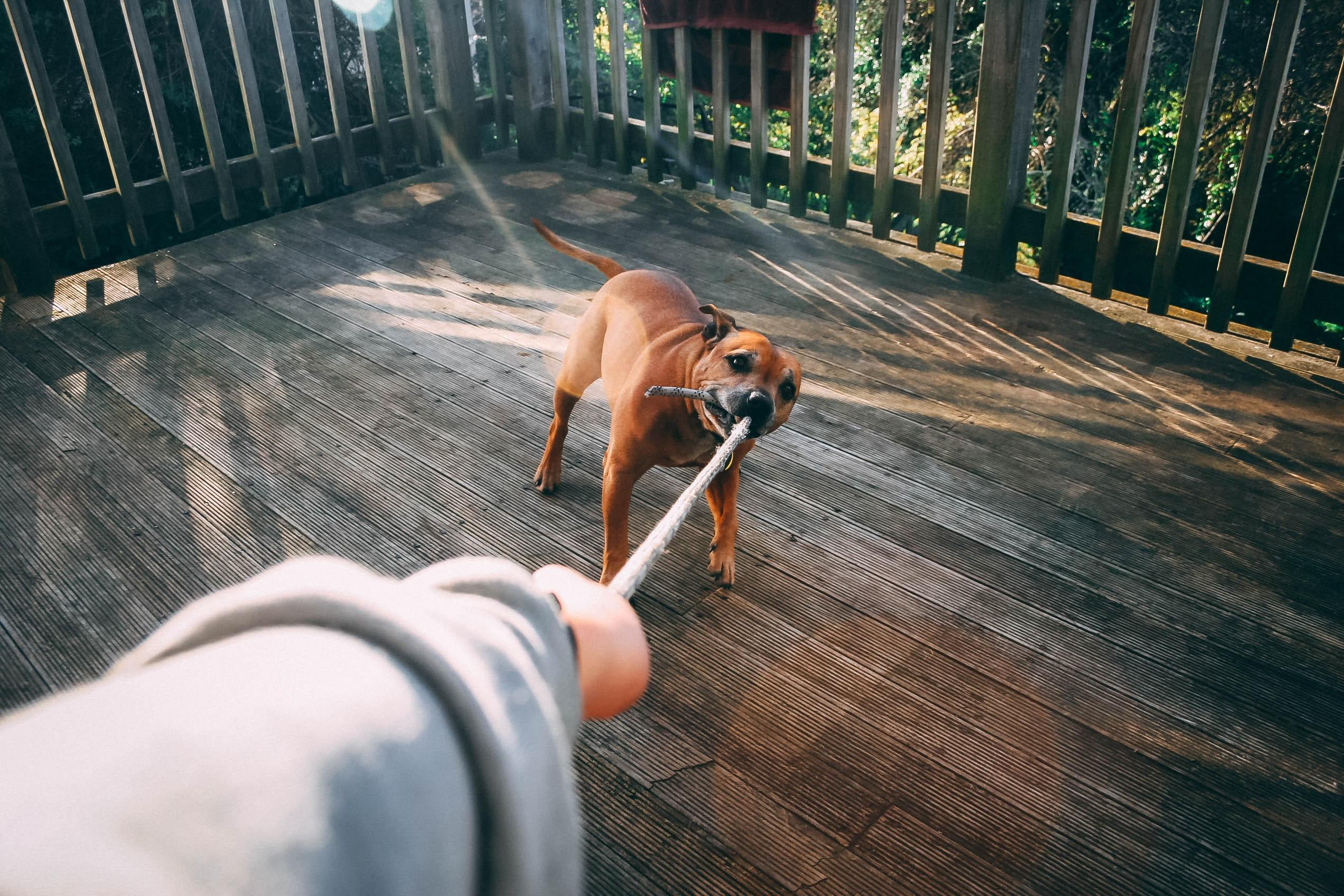 Dog pulling rope that owner is holding on to