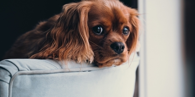 Anxious dog cavalier king charles spaniel scared of New Years Eve fireworks