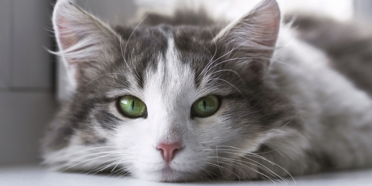 Dry nose in cats