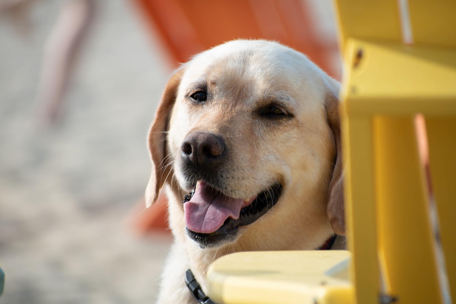 yellow labrador happy