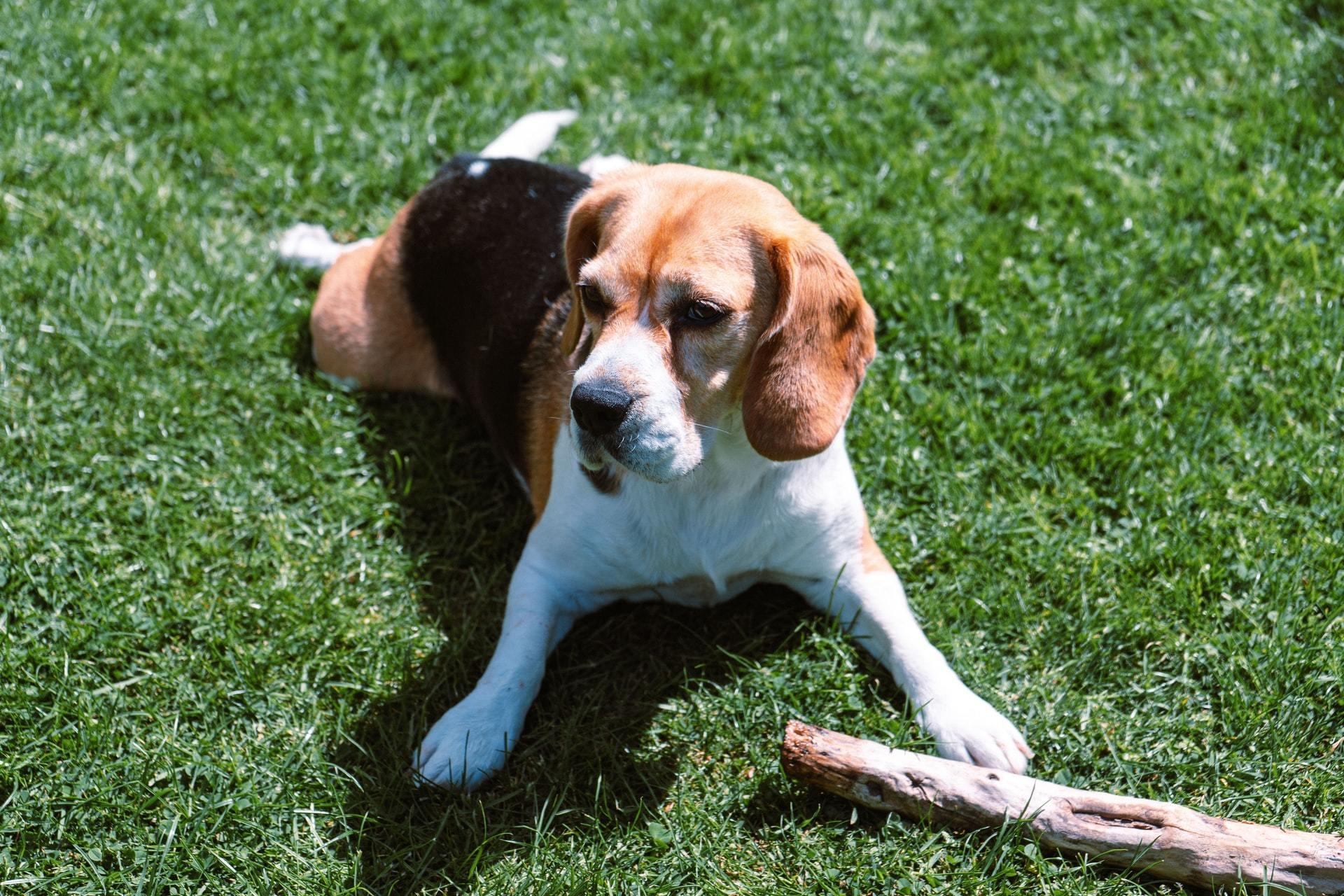 dog-stick-grass