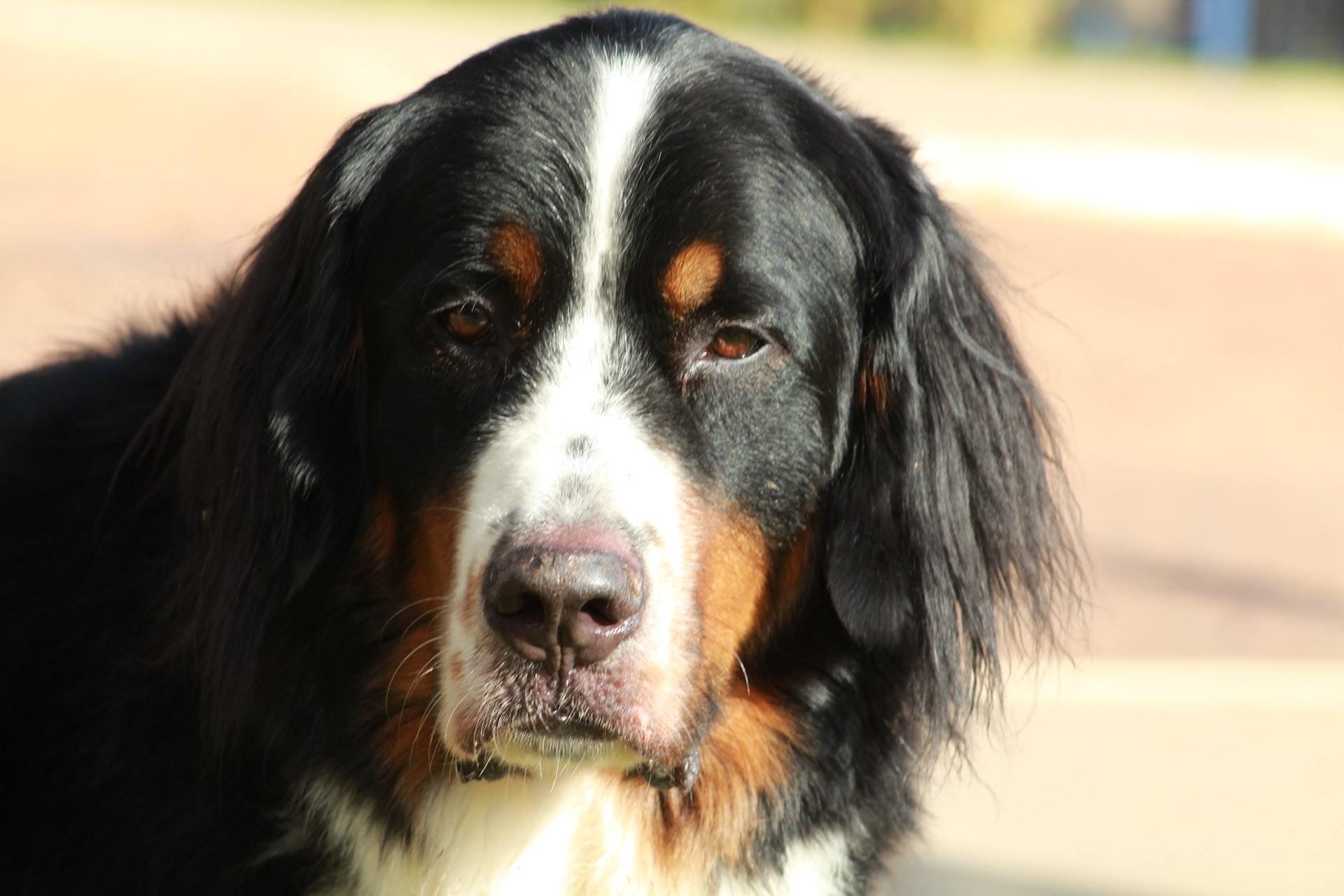 bone cancer in pets