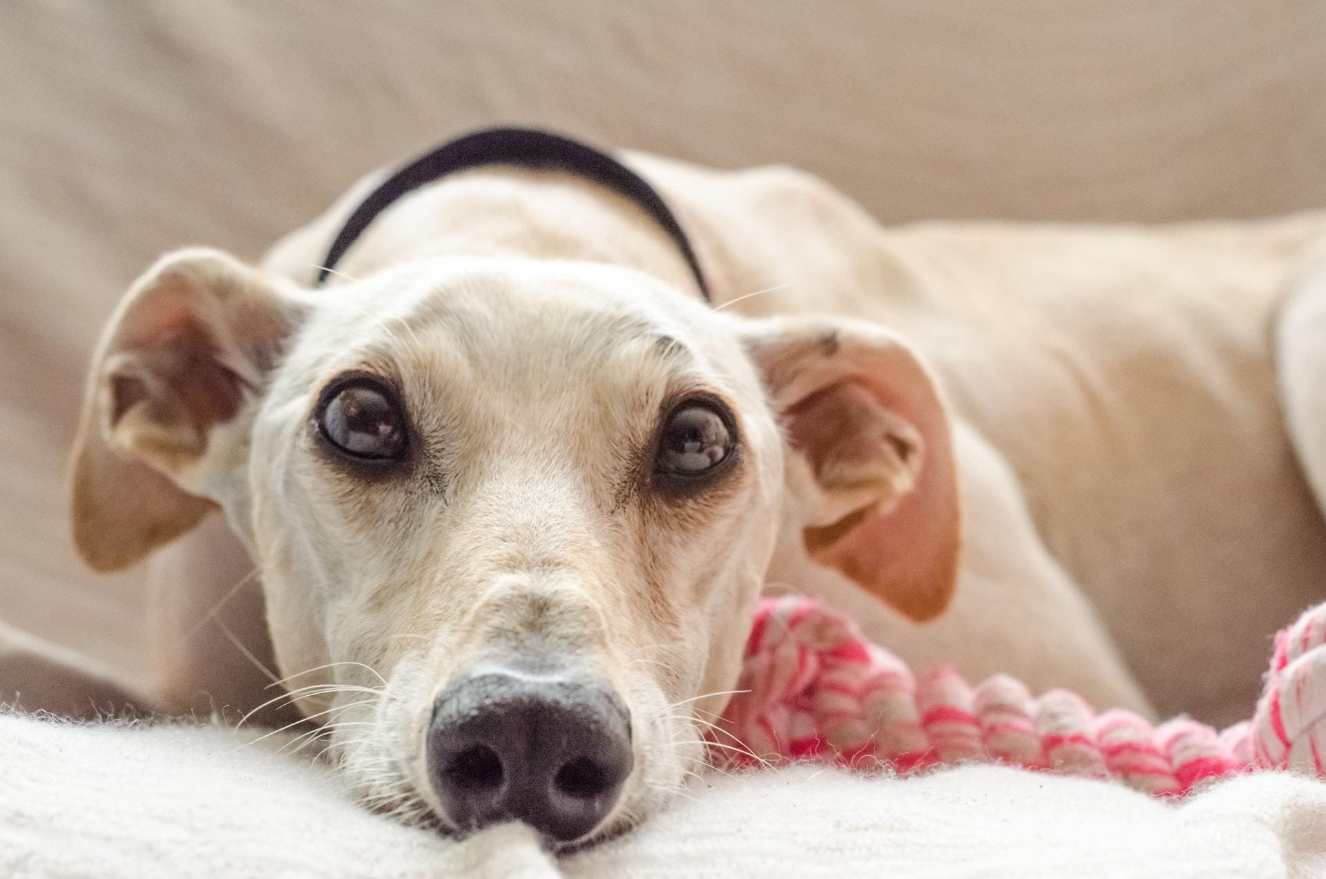 Caring for a deaf dog