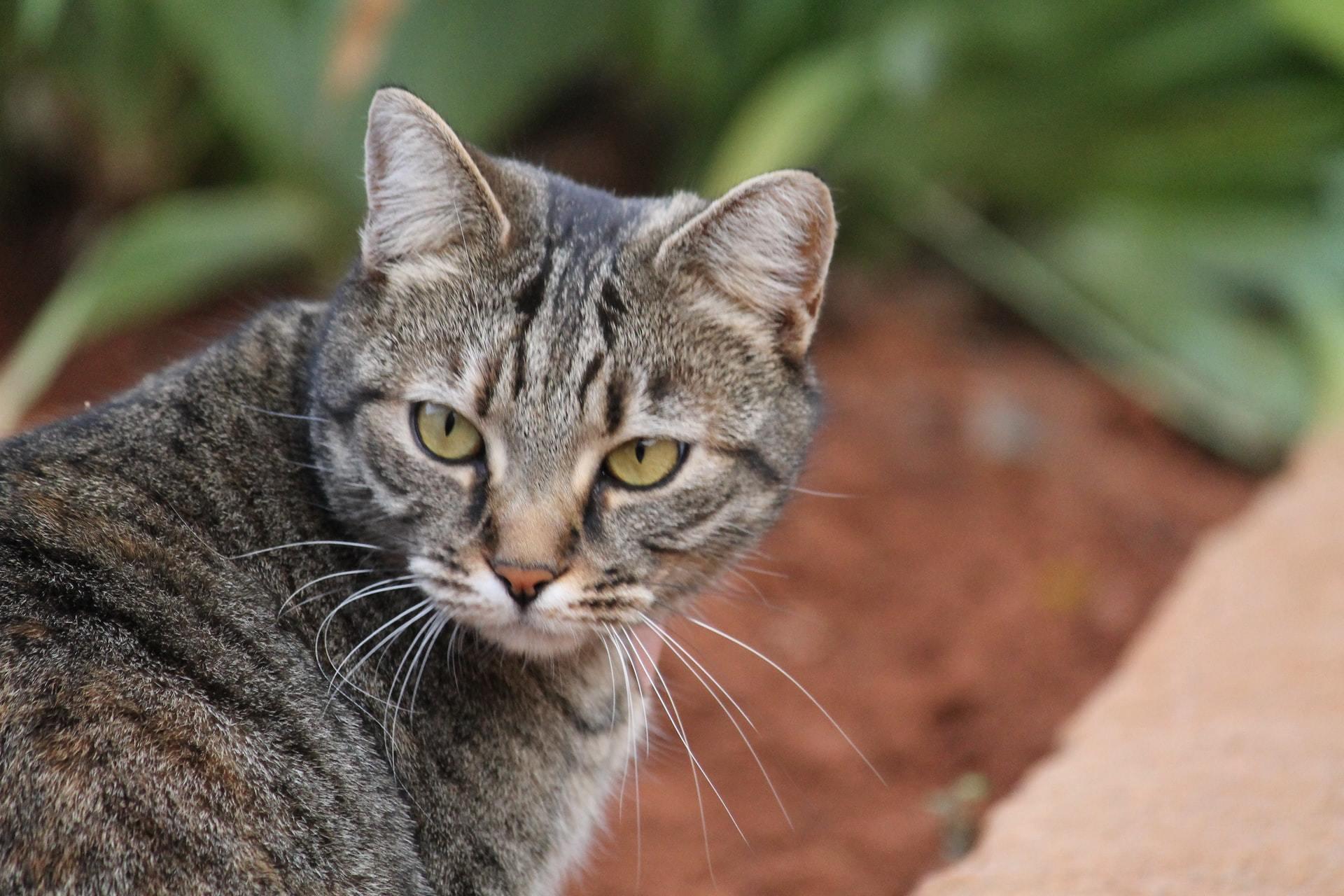 cat abscess treatment