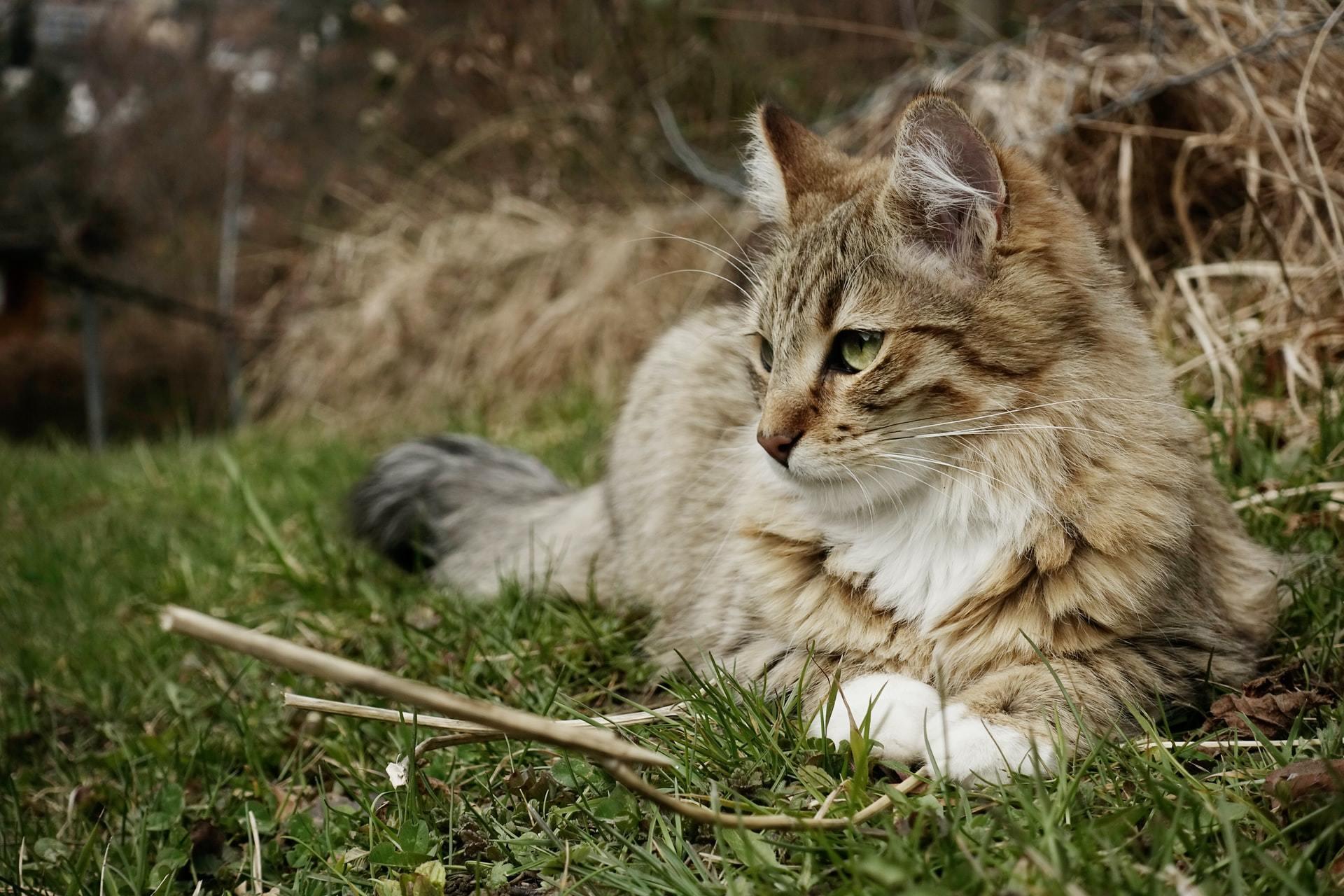cat arthritis treatment
