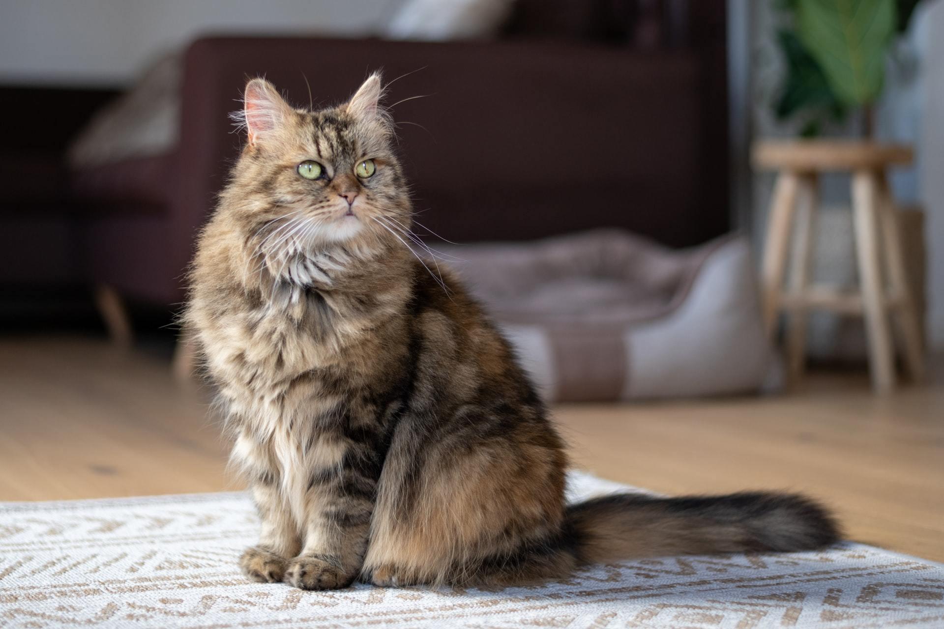 cat heart murmur