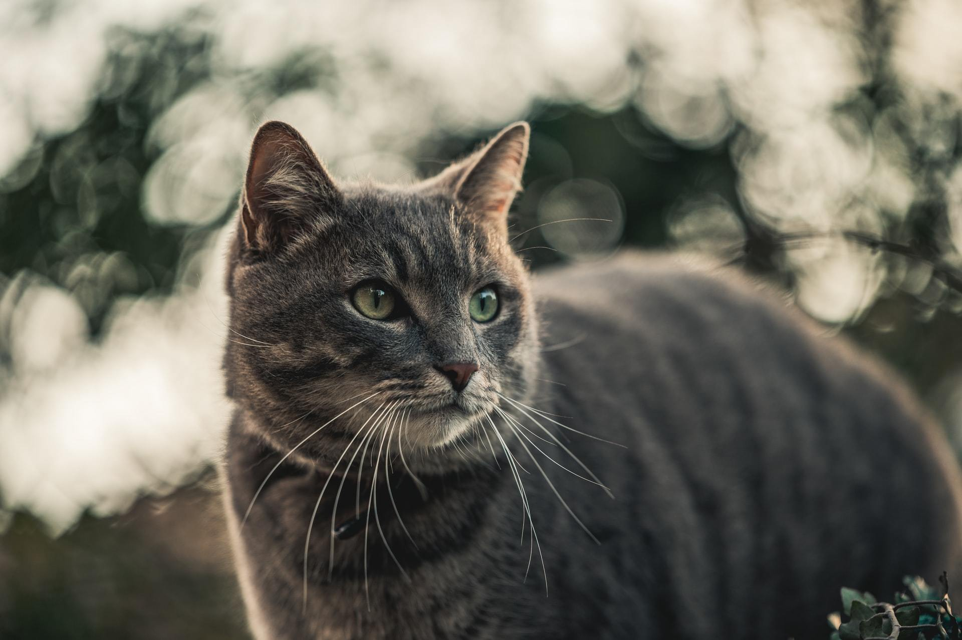 cat ibd
