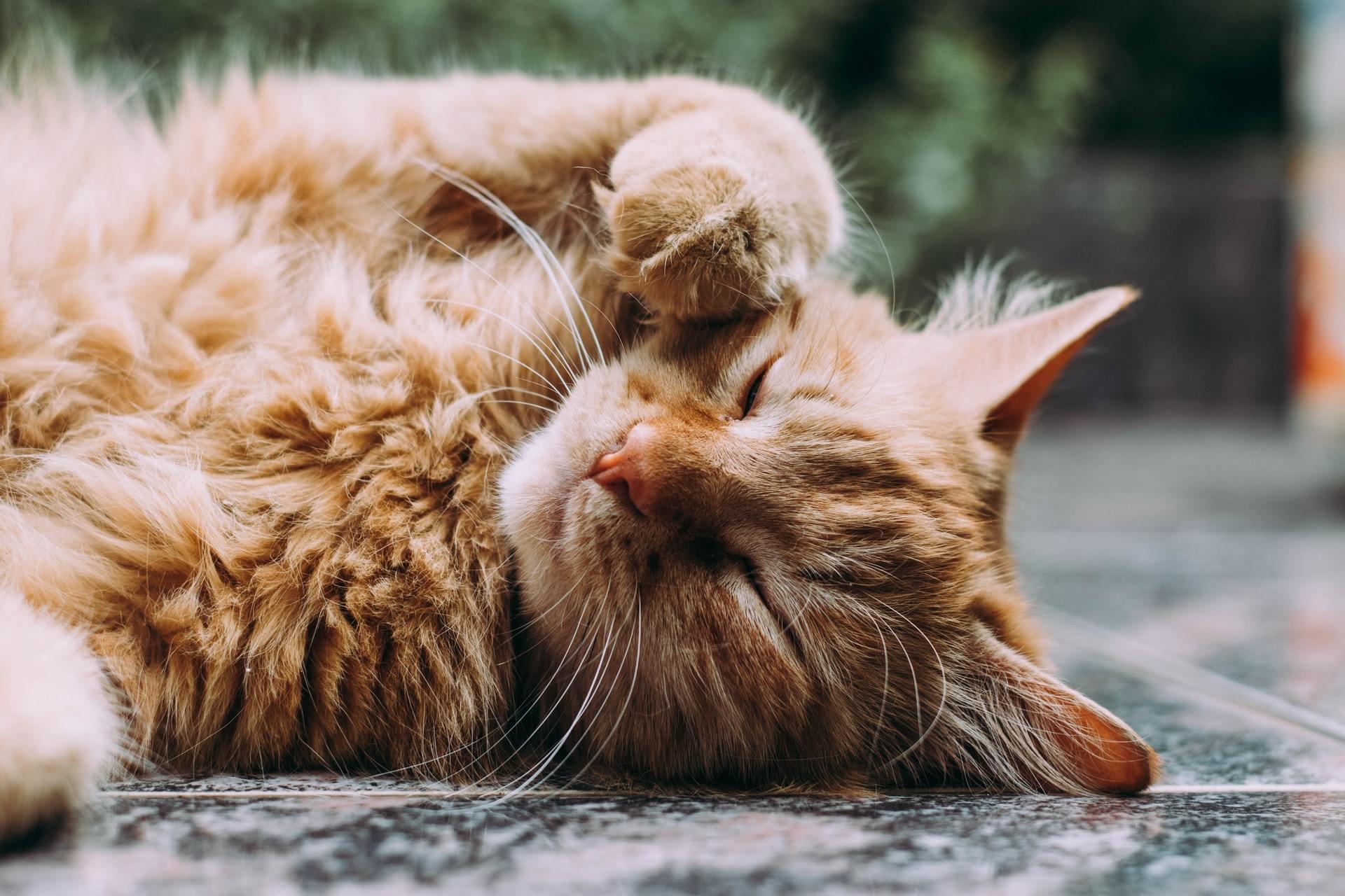 cat limping treatment