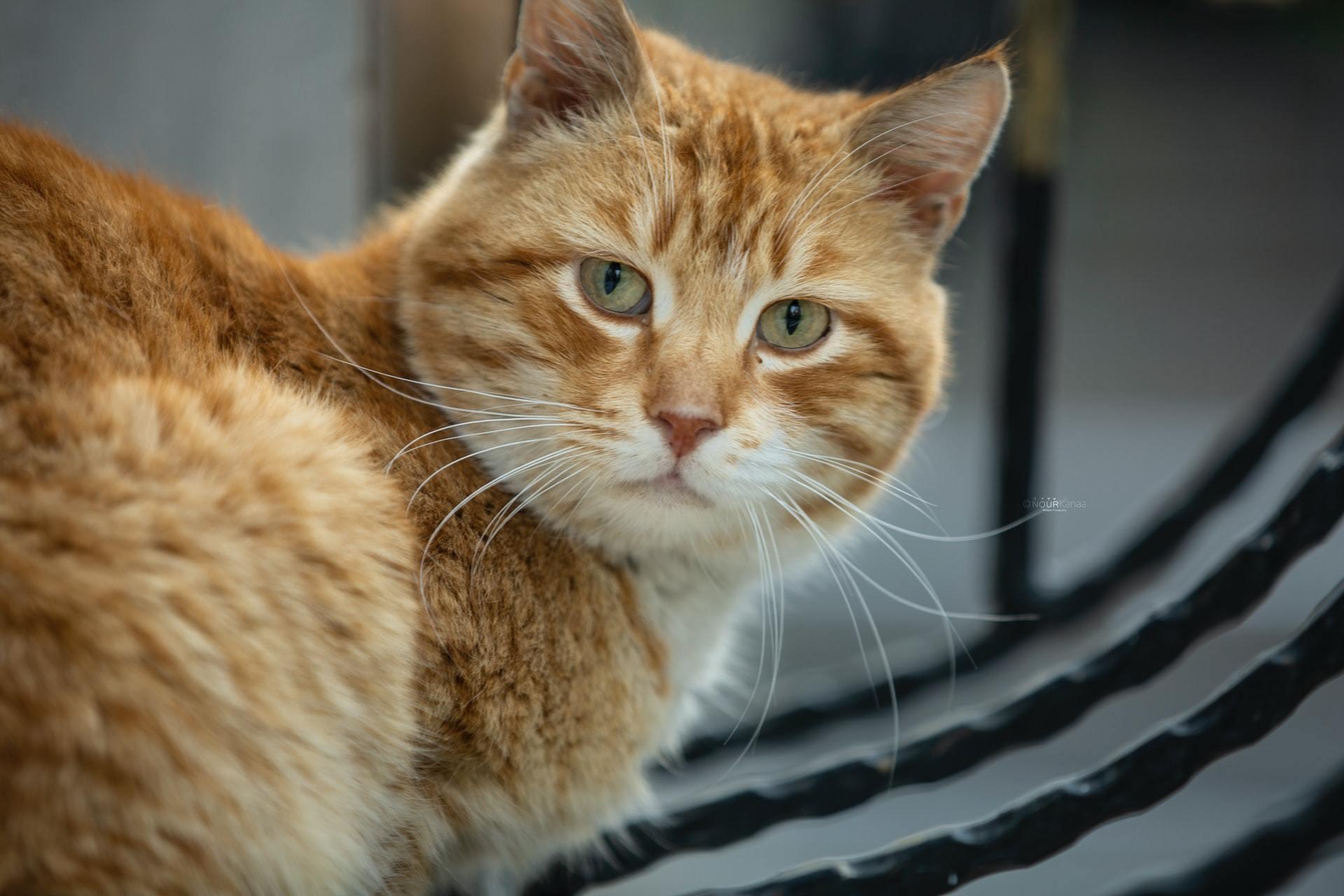 cat liver disease