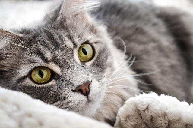 Grey cat lying on bed, urinary infections in cats