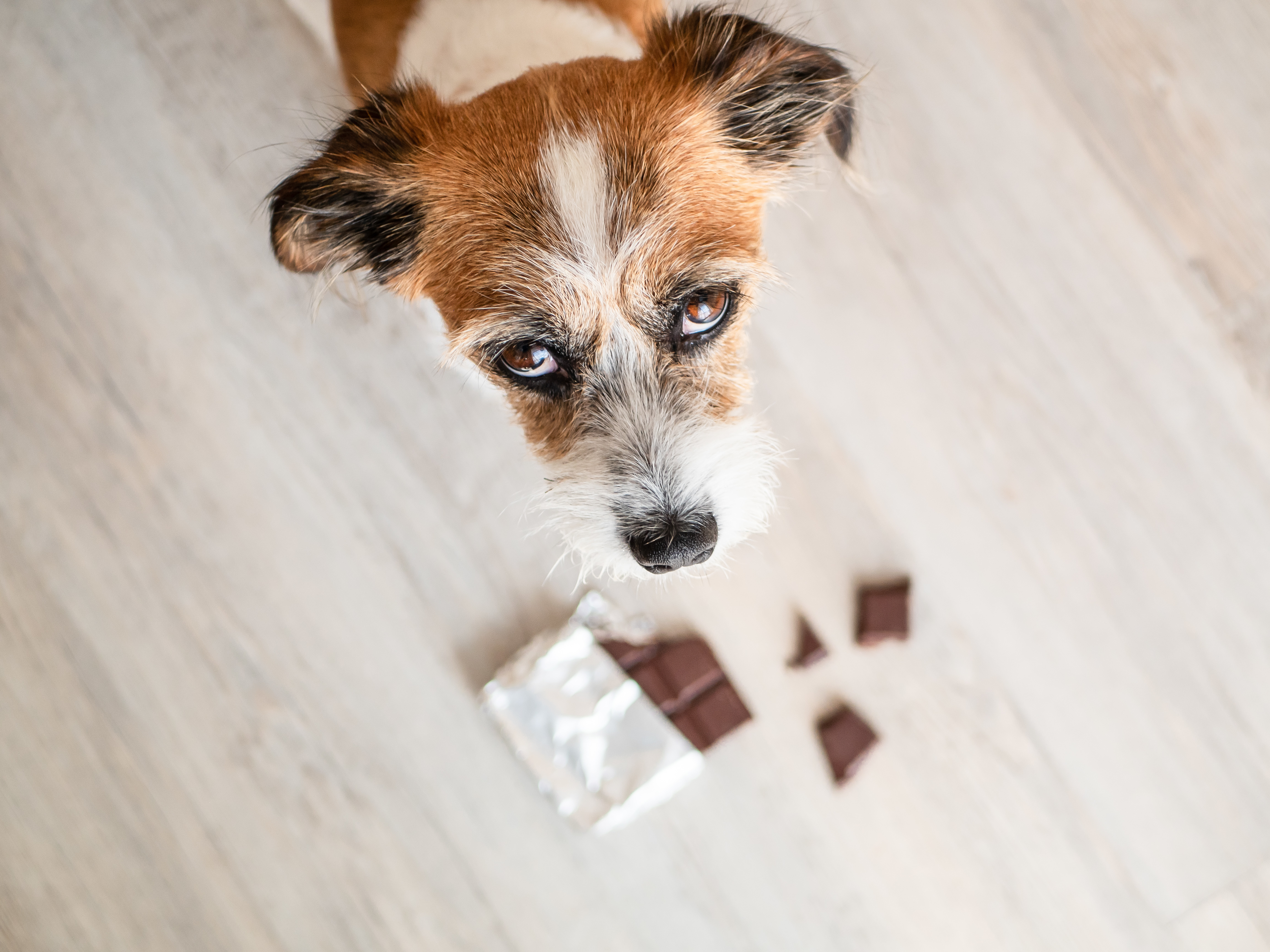 Why chocolate is an unsavoury treat for your dog