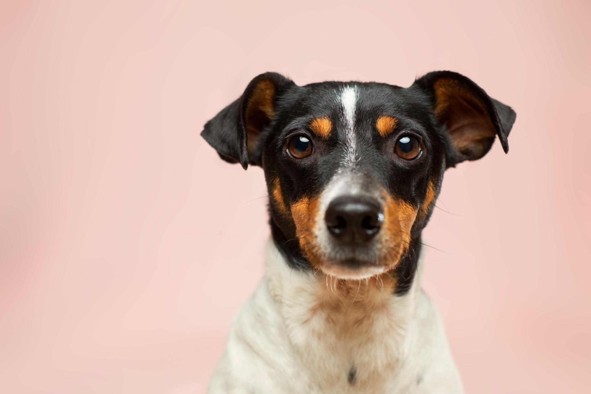 Dansksvensk gardshund