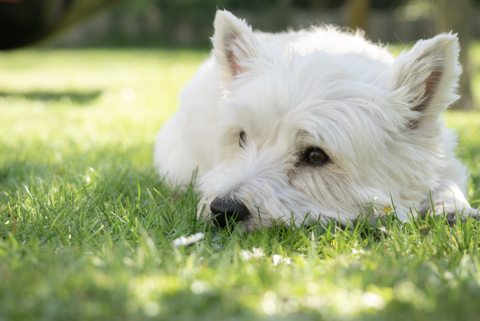 A small white dog lying in the grass and sunshine