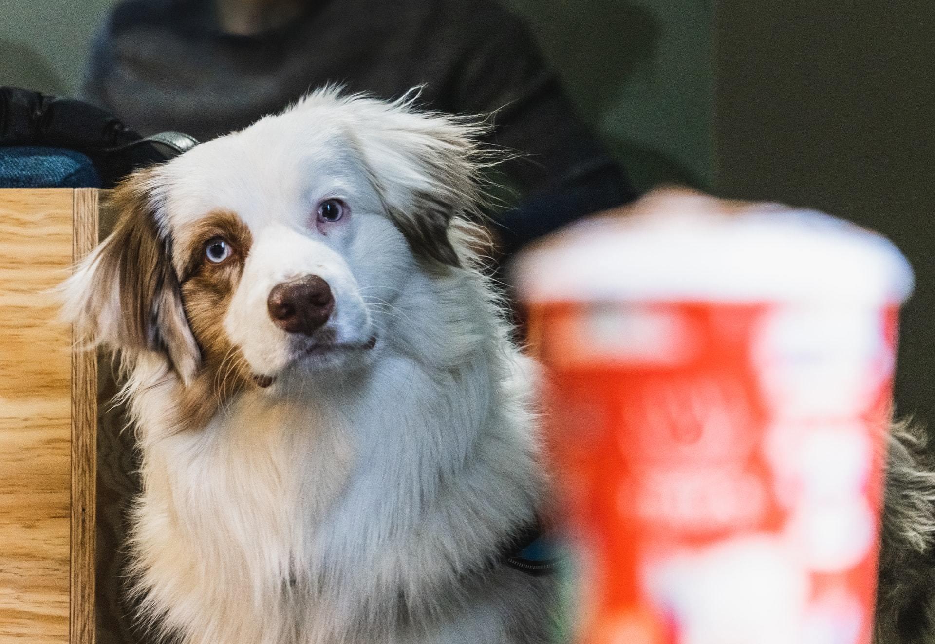 dog caffeine toxicity