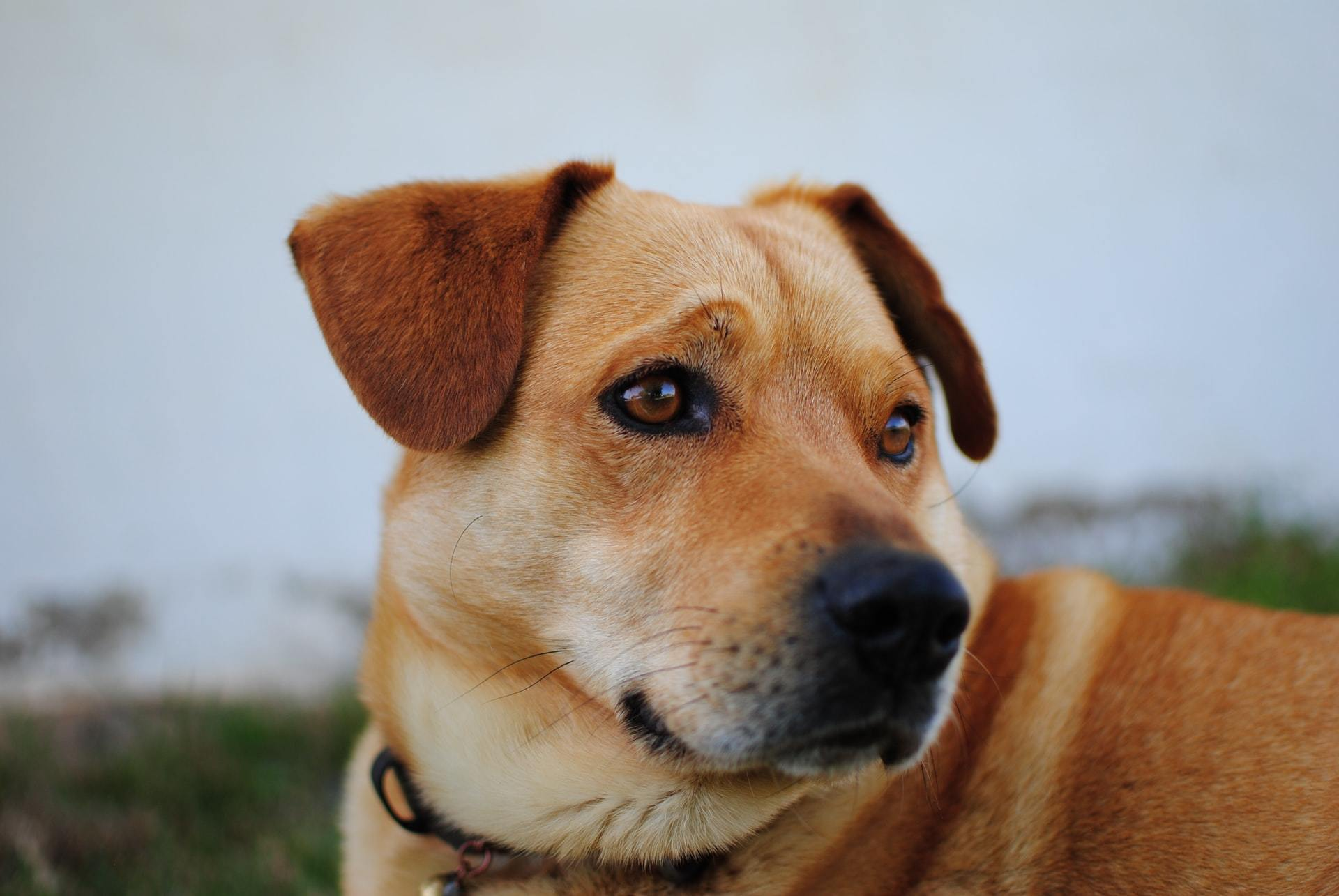 Dog chronic ear infection