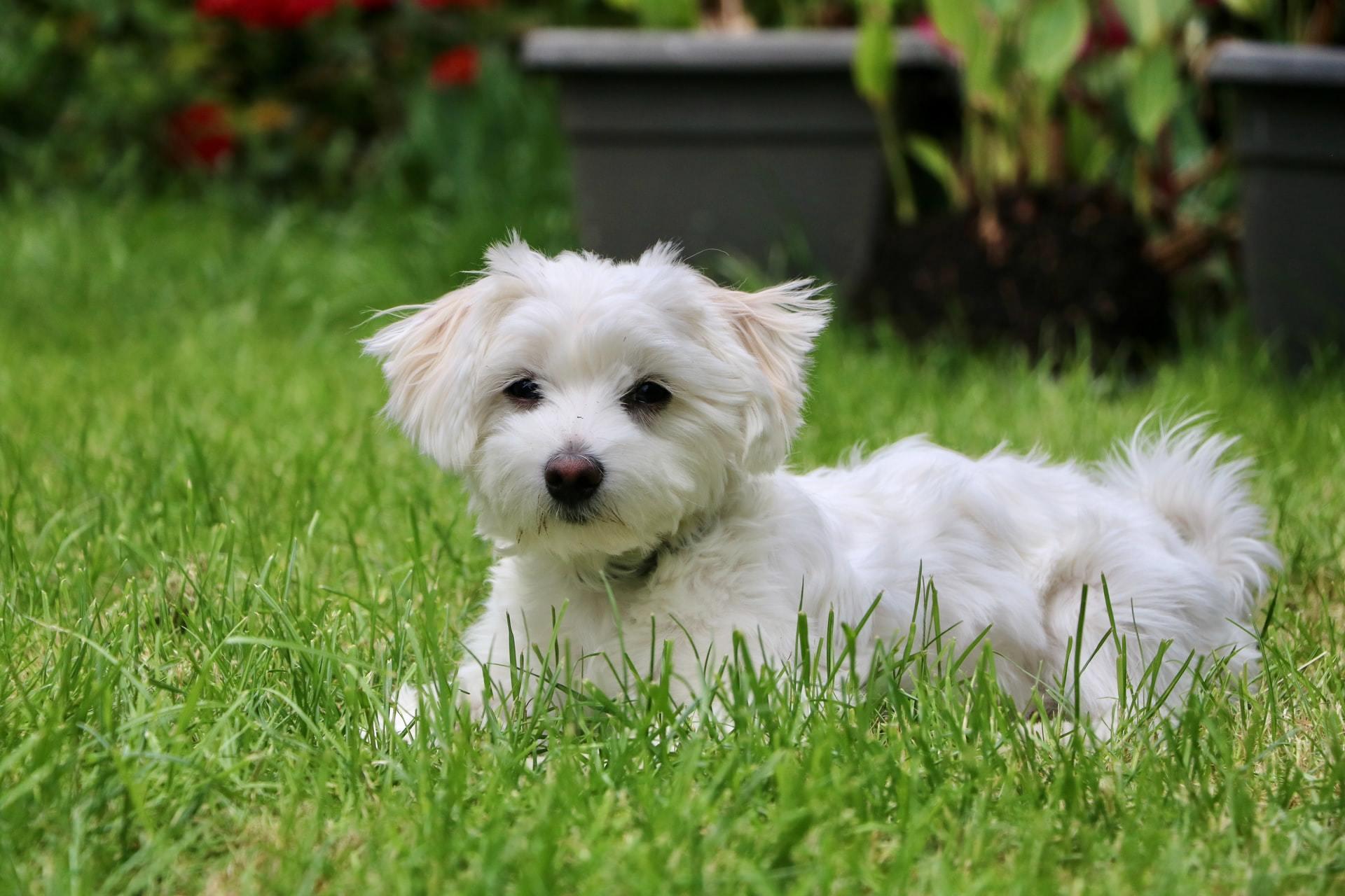 white dog grass