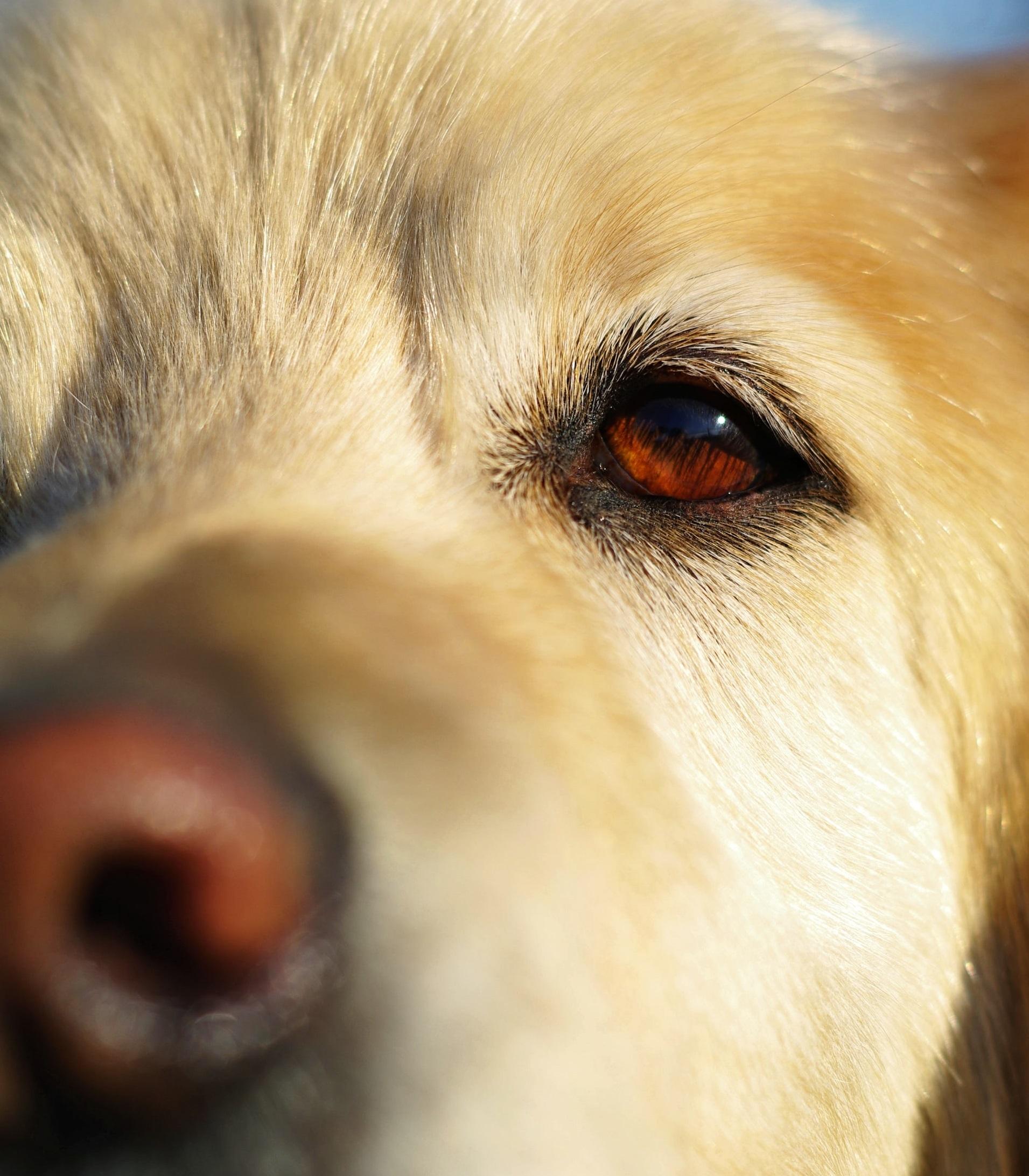 Dog dry eye