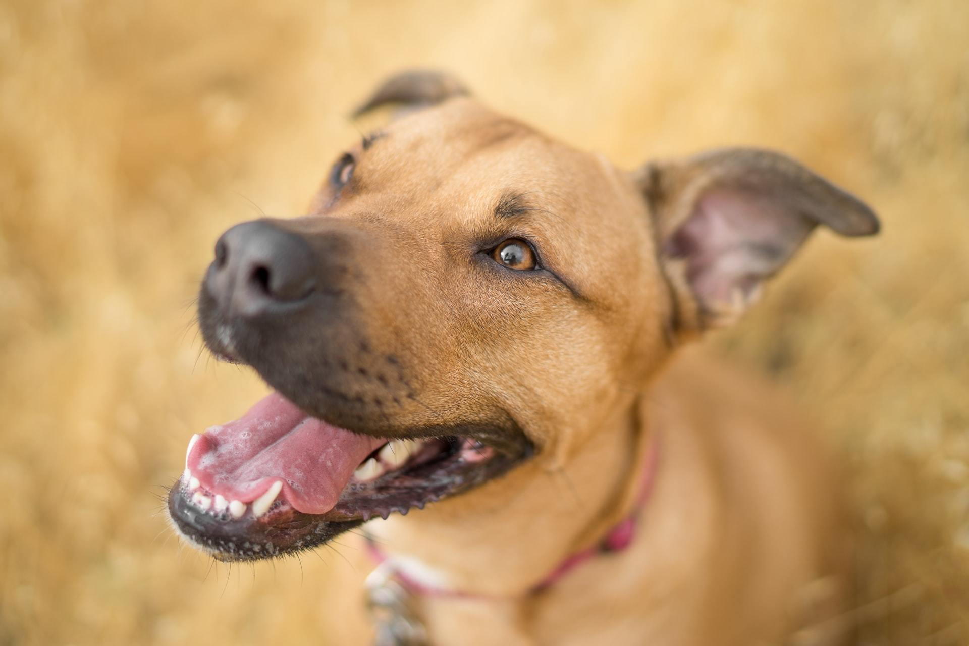 Dog ear infection treatment