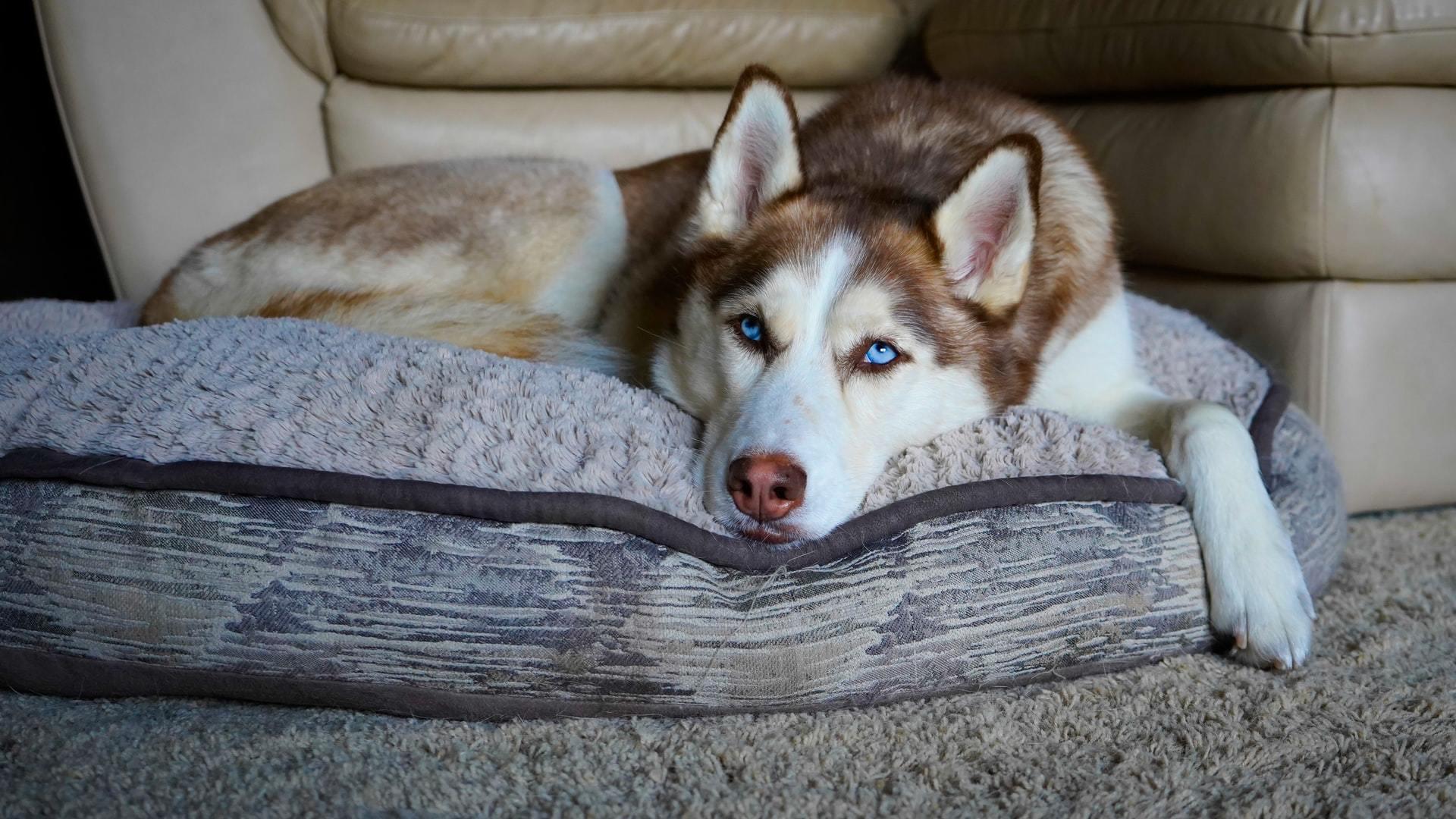 dog false pregnancy