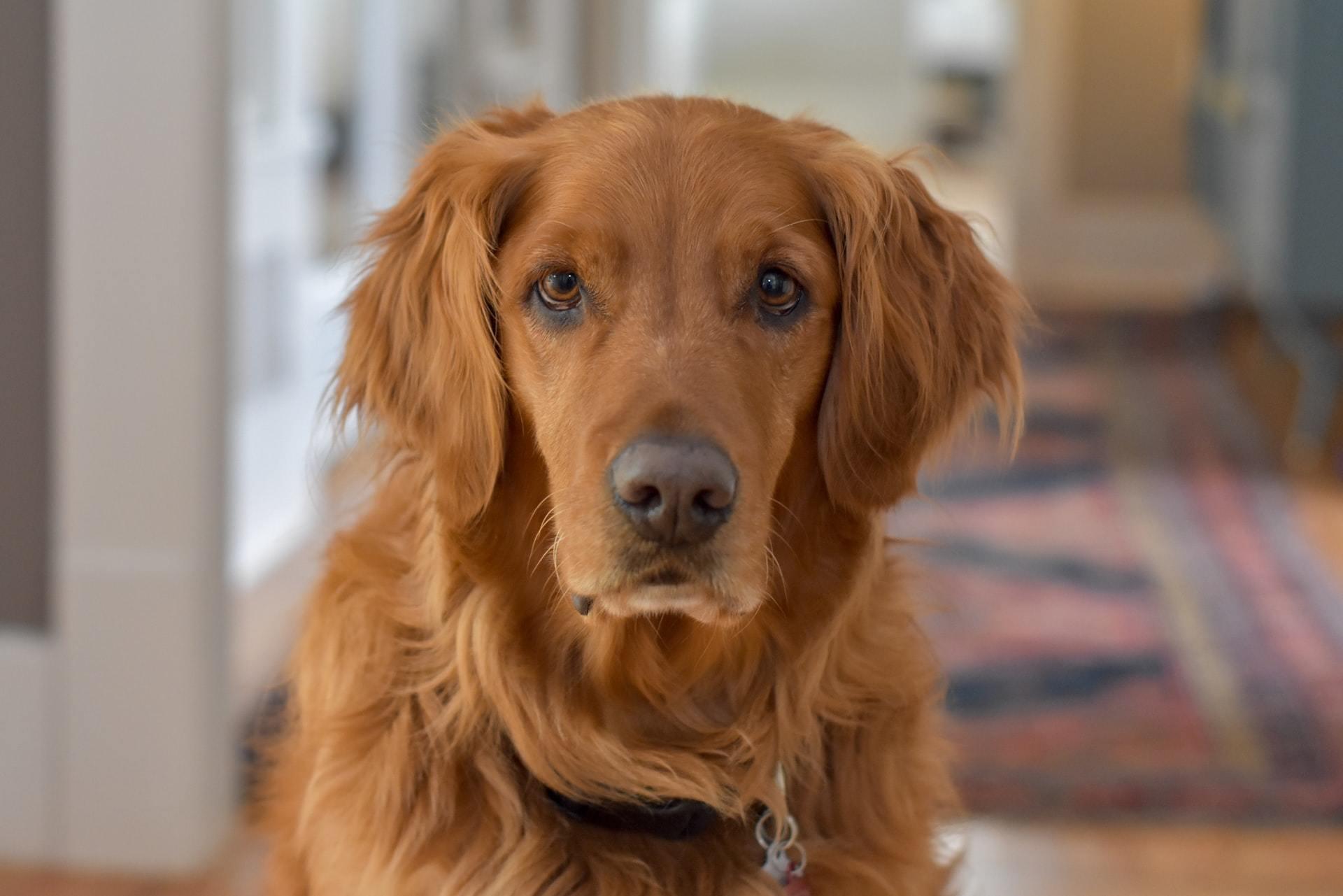 dog hemangiosarcoma treatment