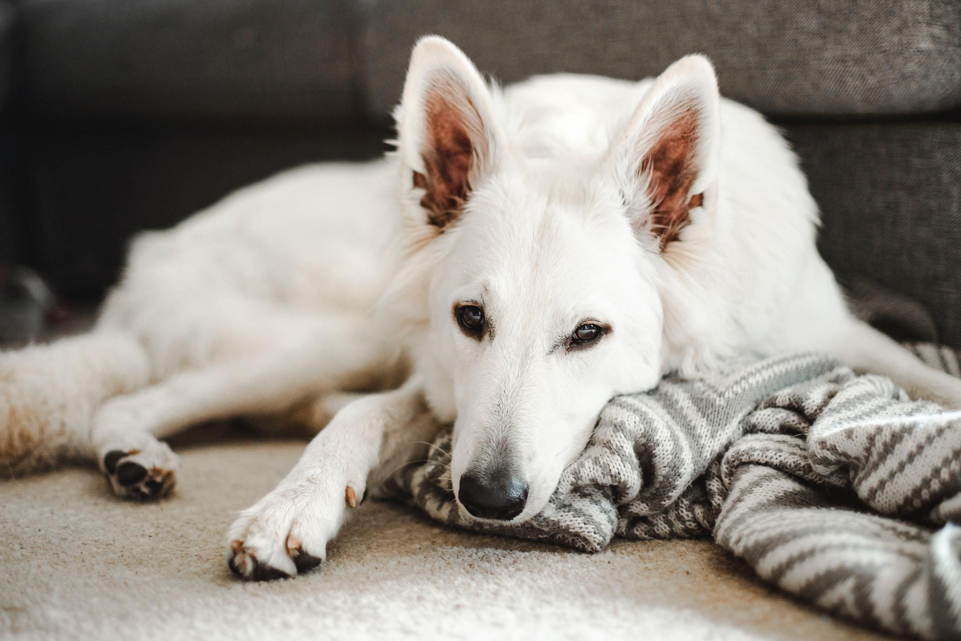 Dog intestinal cancer