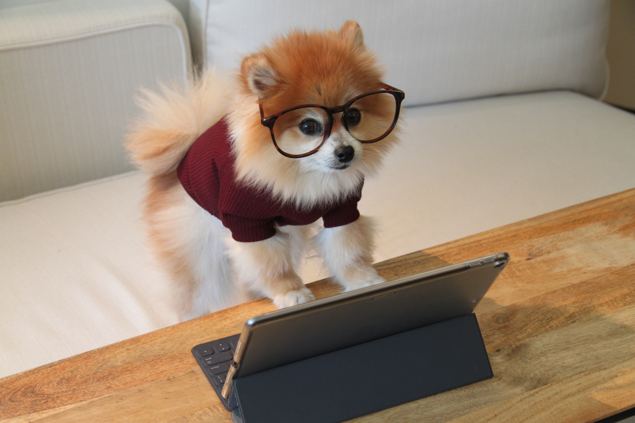 Dog browsing the web on tablet with glasses on