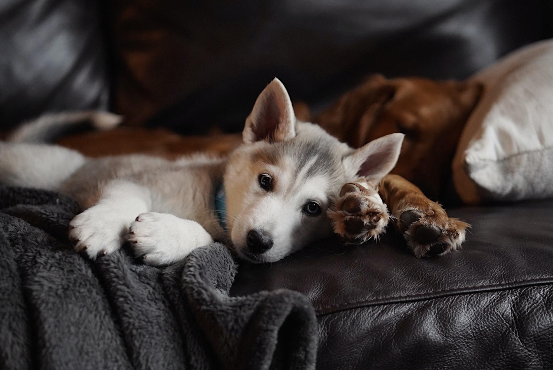 dog vaccine reaction