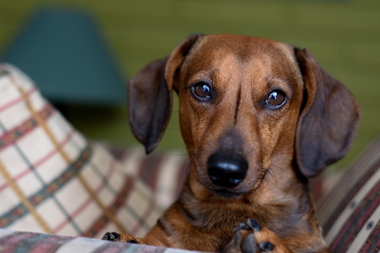 dry dog ears