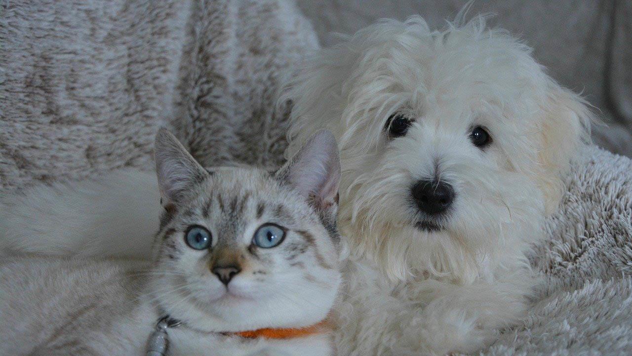 Feber hund katt