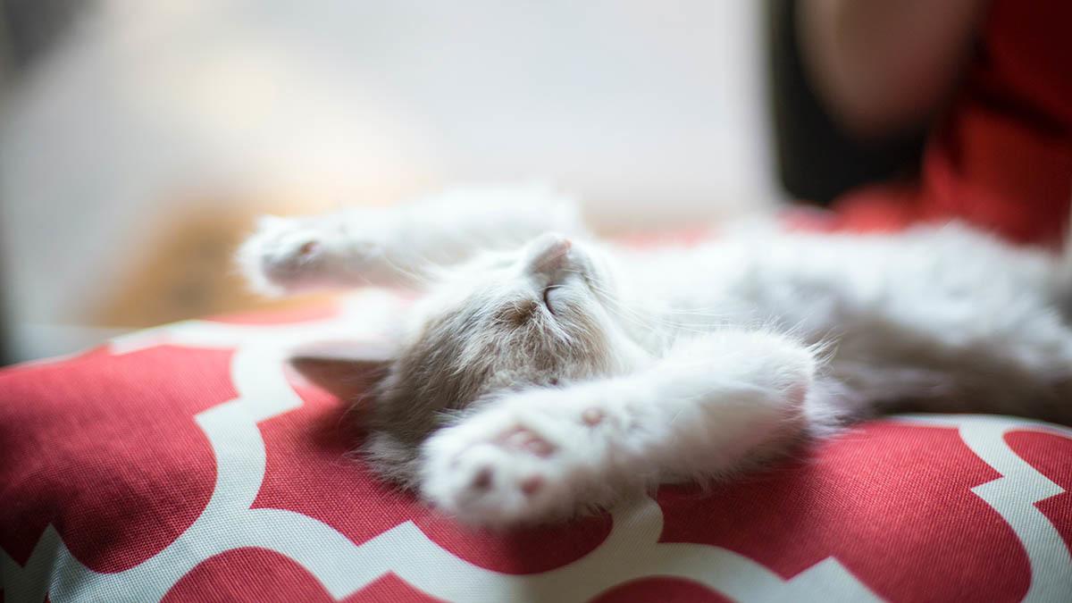 Forlossning katt