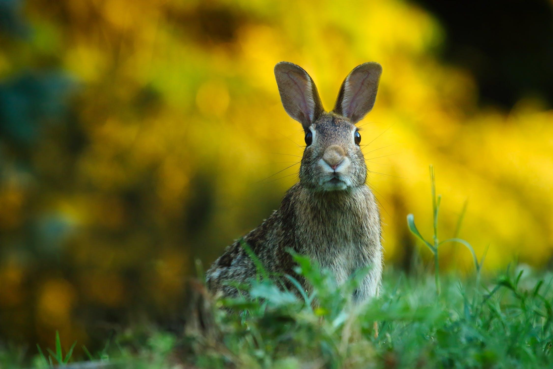 Hare harpest