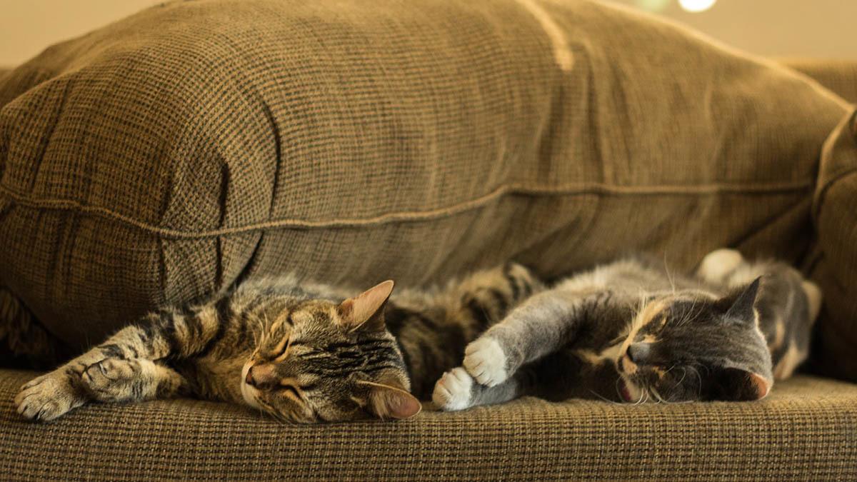 Hogt blodtryck hos katt