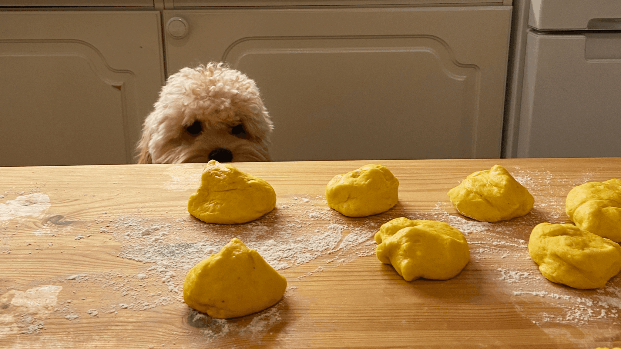 A white poodle looking at balls of dough on a counter top