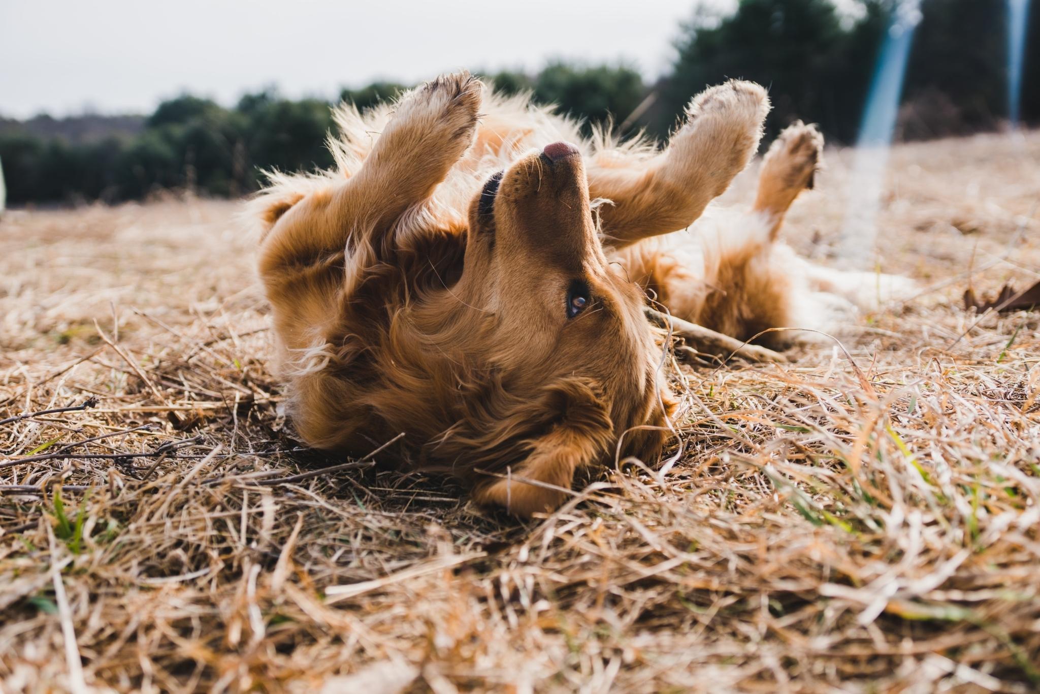 Hundsomrullar