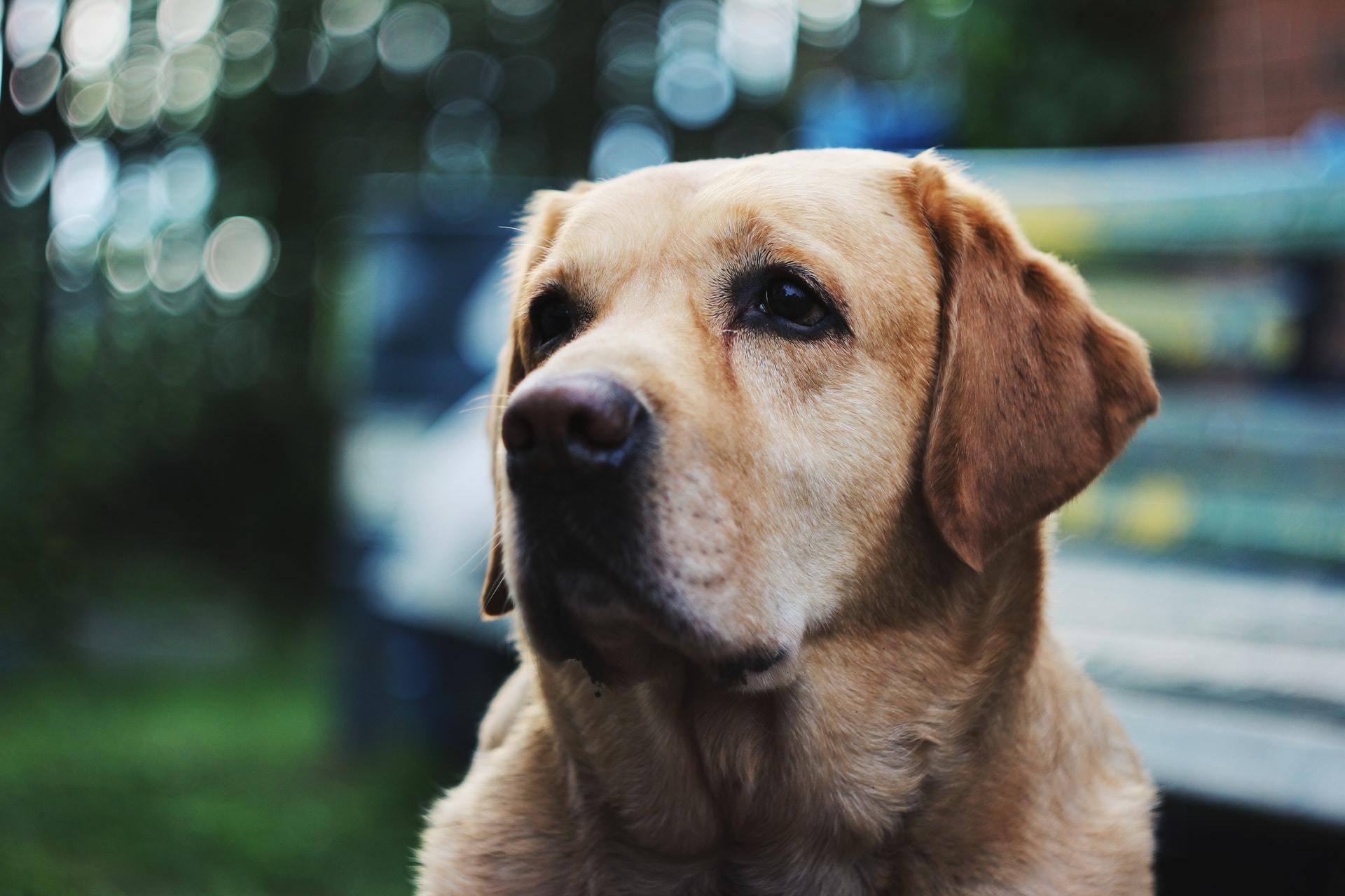 hypothyroid dog