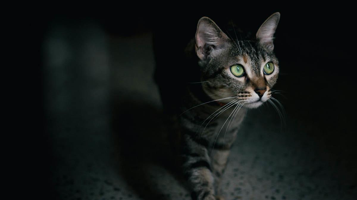 Krampanfall epilepsi hos katt
