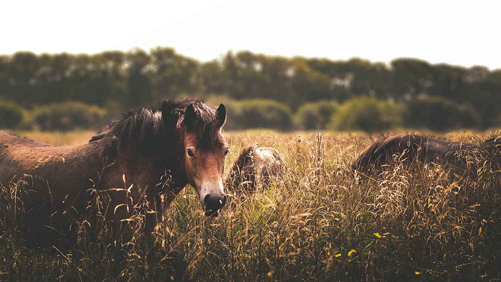 Group of horses in a field of wheat