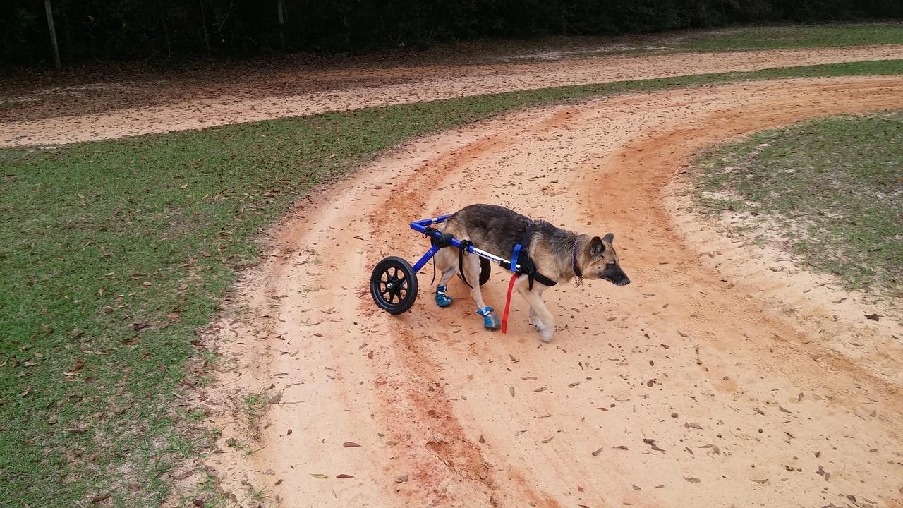 paralyzed dog care