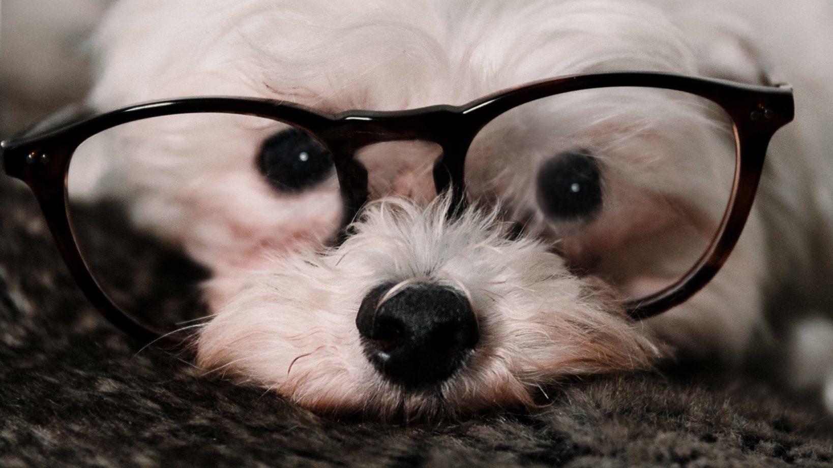Disease surveillance in pets, dog wearing glasses