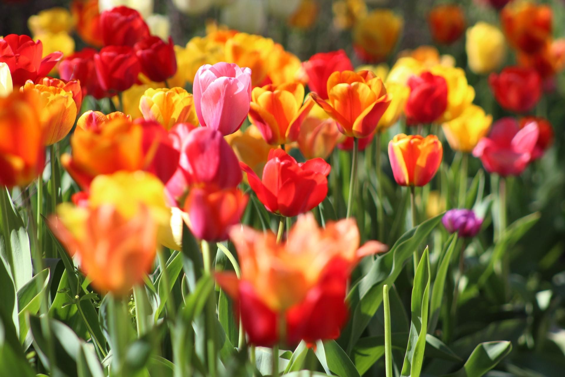 pet tulip poisoning